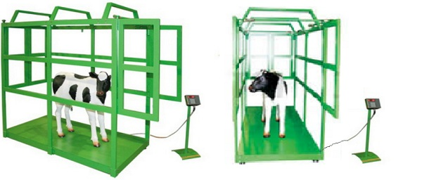 весы для взвешивания крупнорогатого скота